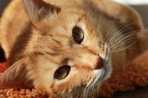 ドクターズダイエットのキャットフードに注目している猫
