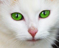 カークランドキャットフードを意識する猫