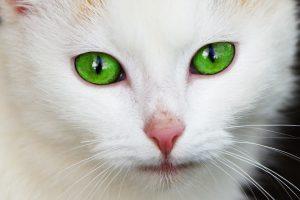 カークランドキャットフードがおいしそうで興味津々な猫