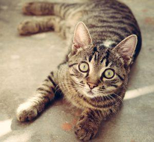 ドクターズダイエットのキャットフードを食べたい猫