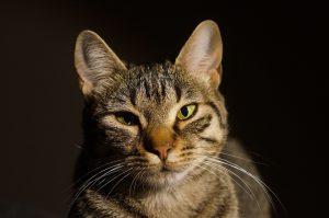 いなばのキャットフードに興味津々の猫