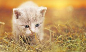 子猫用キャットフードをたくさん食べて元気な子猫