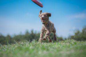 毎日安心のドッグフードを食べて健康的に走り回る犬